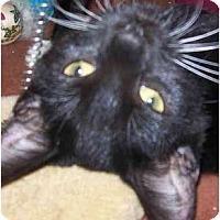 Adopt A Pet :: Gus - Annapolis, MD