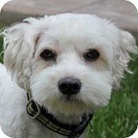 Adopt A Pet :: Tigger - La Costa, CA