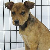 Adopt A Pet :: Pebbles - Philadelphia, PA