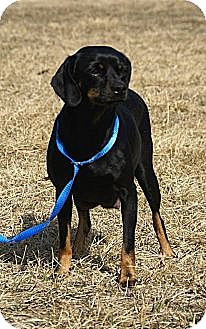 Pug/Dachshund Mix Dog for adoption in Hawk Point, Missouri - Nyla - ADOPTED!!