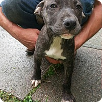 Adopt A Pet :: Cadie - Elderton, PA
