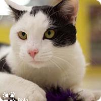 Adopt A Pet :: Bolo - Merrifield, VA