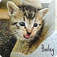 Adopt A Pet :: Bailey - Bentonville, AR