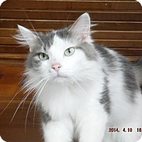 Domestic Mediumhair Cat for adoption in Saint Albans, West Virginia - Chase