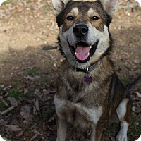 Adopt A Pet :: Gray Wind (RS) - Windham, NH