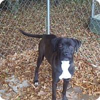 Adopt A Pet :: Venus - Boston, MA