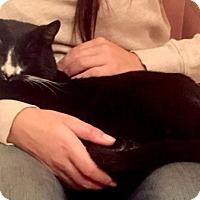 Adopt A Pet :: Marcel Sweet Curly-Eared Tuxedo - Brooklyn, NY