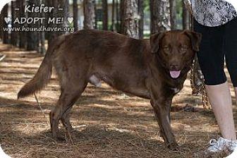 Labrador Retriever Mix Dog for adoption in Minneola, Florida - Kiefer Brown