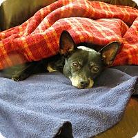 Adopt A Pet :: Cala (pronounced KAY-lah) - Rockville, MD