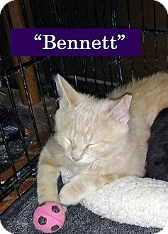 Domestic Shorthair Kitten for adoption in Irwin, Pennsylvania - Bennet
