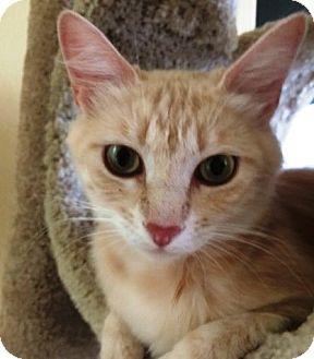 Domestic Mediumhair Cat for adoption in Orange, California - Orange Blossom