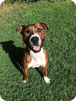American Pit Bull Terrier/Boxer Mix Dog for adoption in oklahoma city, Oklahoma - Boz