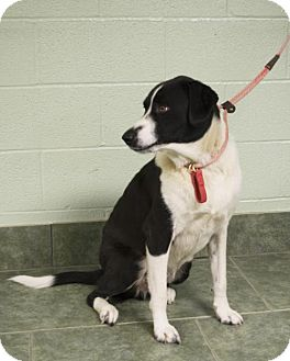 Border Collie Dog for adoption in Ada, Oklahoma - Chubbs