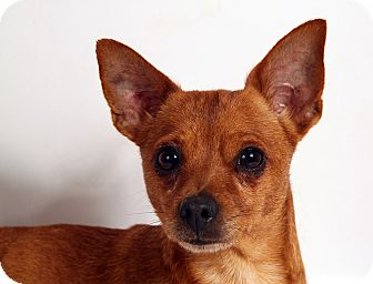 Chihuahua Mix Dog for adoption in St. Louis, Missouri - Lilly Chimix