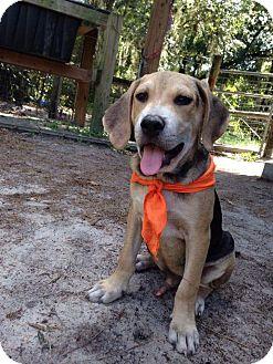 Labrador Retriever/Hound (Unknown Type) Mix Puppy for adoption in Groveland, Florida - Star