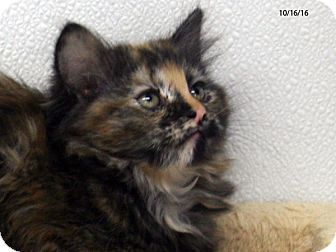 Domestic Mediumhair Kitten for adoption in Republic, Washington - Maroon