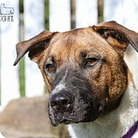 Akita Mix Dog for adoption in Troy, Illinois - Beretta