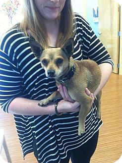 Chihuahua/Terrier (Unknown Type, Small) Mix Dog for adoption in Raleigh, North Carolina - Chappy