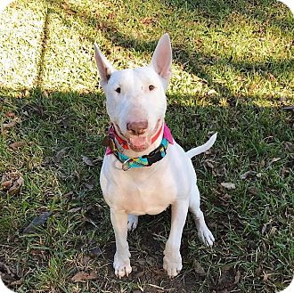 Bull Terrier Dog for adoption in Houston, Texas - Peggy Sue