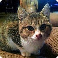Adopt A Pet :: Skipper - Rocky Hill, CT