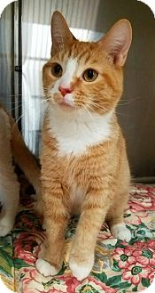 Domestic Shorthair Cat for adoption in Akron, Ohio - Kringle