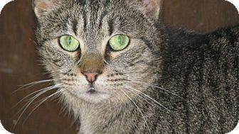 Domestic Shorthair Cat for adoption in Chesterfield, Virginia - Crazy
