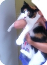Calico Cat for adoption in Horsham, Pennsylvania - Bella