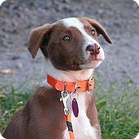 Adopt A Pet :: Jersey - Rigaud, QC