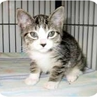 Adopt A Pet :: Athena - Shelton, WA
