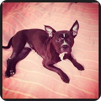 french bulldog rescue wi west allis wi french bulldog american staffordshire 9049