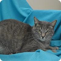 American Shorthair Cat for adoption in New Iberia, Louisiana - Linda