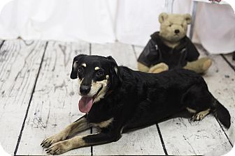 Shepherd (Unknown Type) Mix Dog for adoption in New York, New York - Rottie
