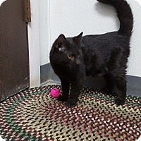 Domestic Shorthair Kitten for adoption in Keokuk, Iowa - Navi