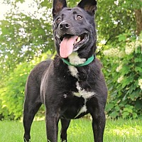 Shepherd (Unknown Type)/Australian Kelpie Mix Dog for adoption in Whites Creek, Tennessee - Fappy