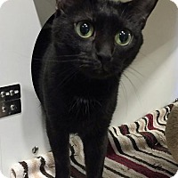 Domestic Shorthair Cat for adoption in Herndon, Virginia - Liza