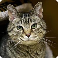 Adopt A Pet :: Tigger Too - Kettering, OH