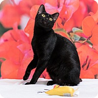 Domestic Shorthair Cat for adoption in Houston, Texas - Piper