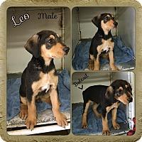 Adopt A Pet :: Leo Adoption pending - Manchester, CT