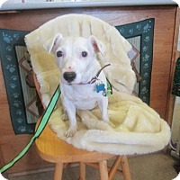 Jack Russell Terrier Dog for adoption in Cocoa, Florida - Twila (Cocoa Center)