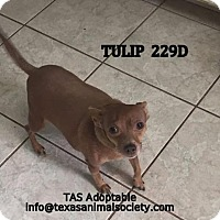 Chihuahua/Terrier (Unknown Type, Small) Mix Dog for adoption in Spring, Texas - Tulip