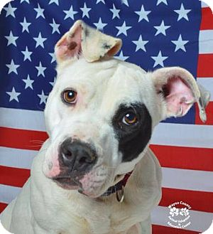 American Staffordshire Terrier Mix Dog for adoption in Golsboro, North Carolina - SIZZLE