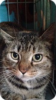 Domestic Shorthair Cat for adoption in Salisbury, Massachusetts - Flake