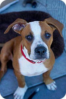 Boxer/Pit Bull Terrier Mix Dog for adoption in San Jose, California - Eddie
