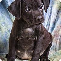 Adopt A Pet :: HUXLEY - Anna, IL