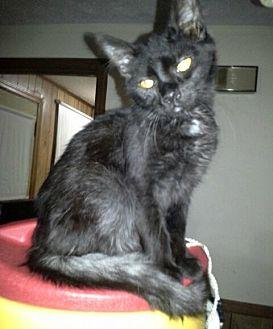 Domestic Mediumhair Kitten for adoption in Albemarle, North Carolina - Willie
