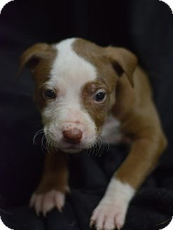 American Pit Bull Terrier/Labrador Retriever Mix Puppy for adoption in Manhattan, New York - Bella