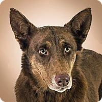 Adopt A Pet :: Storm - Prescott, AZ
