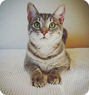American Shorthair Kitten for adoption in Fredericksburg, Texas - Storm