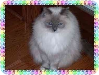 Ragdoll Cat for adoption in KANSAS, Missouri - Kaeli