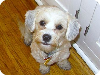 Shih Tzu/Lhasa Apso Mix Dog for adoption in Bellflower, California - Zelda - I do not shed!